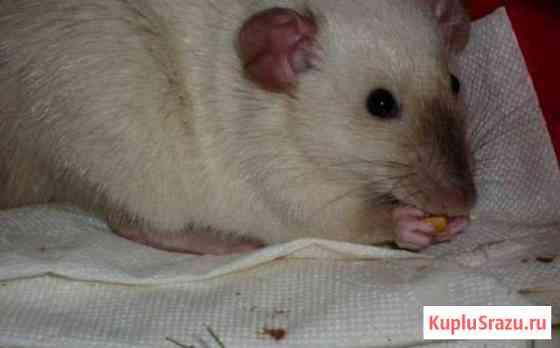 Вязка крысы Киров