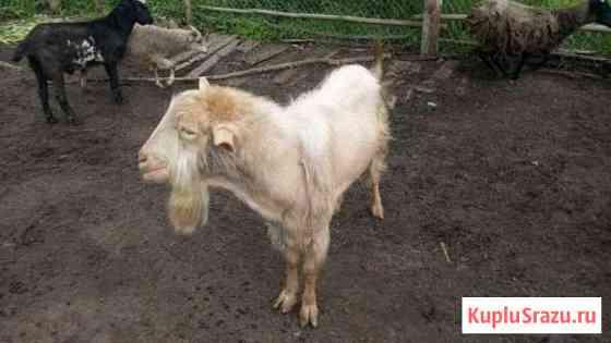 Козел на племя и коза Петушки