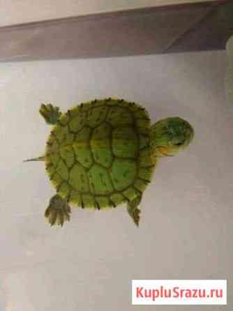 Черепаха красноухая Ирбит