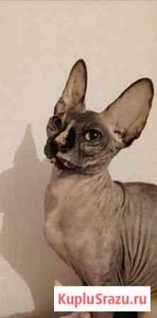 Донской сфинкс, кошка 9 месяцев Бобров