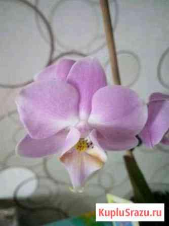 Орхидея Чита