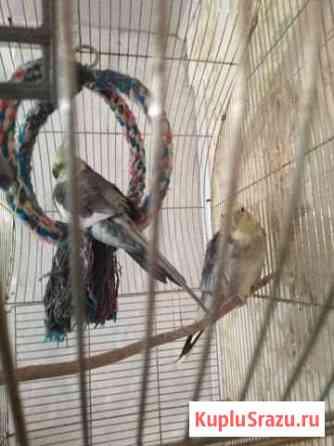 2х попугаев карэлы Никологоры