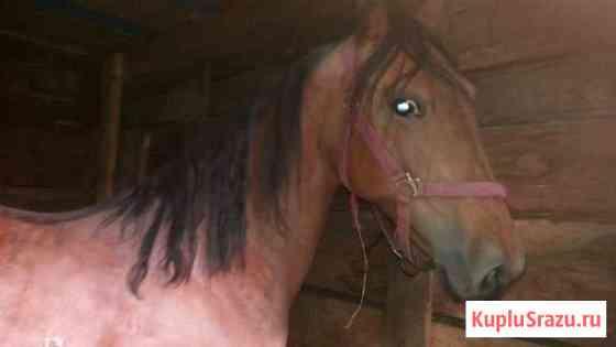 Лошадь 8 лет Новосибирск