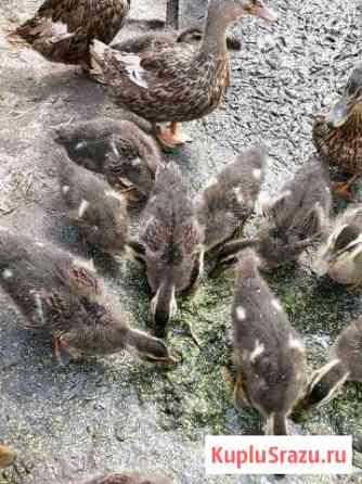Утки, подсадные Новосибирск
