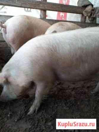 Продам свиней Рощино