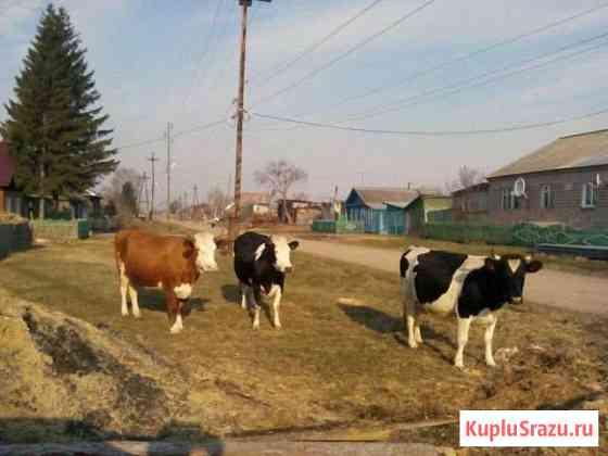 Три коровы и доильный аппарат. Небольшой торг Козулька