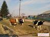 Три коровы и доильный аппарат. Небольшой торг