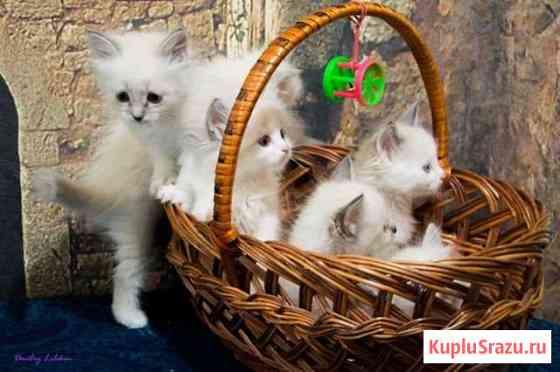Невские котята Алексеевка