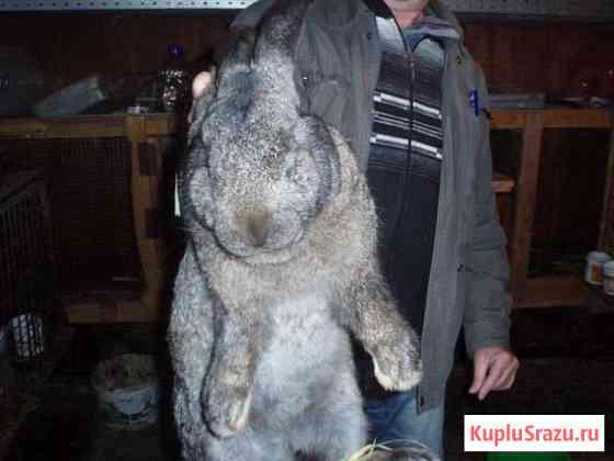 Крупные кролики Верх-Тула
