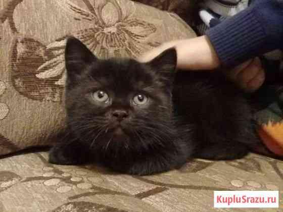 Шотландский котенок Черногорск