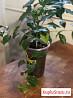 Цветы комнатные (бугенвиллия, сиреневая,калатея, а