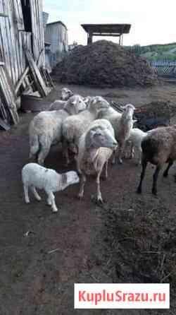 Продается стадо овцы, бараны, ягнята живым весом Троицкое