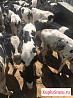 Отпоенные бычки до 4х мес