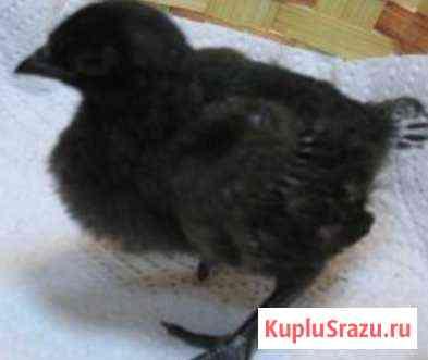 Цыпленок Персиановский