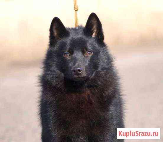 Схипперке кобель вязка Красноярск