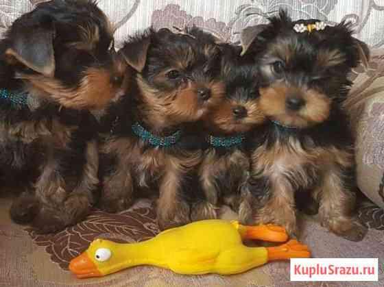 Йоркширские терьеры щеночки Белгород