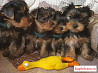 Йоркширские терьеры щеночки