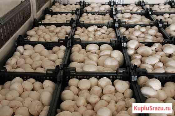 Продаем грибы оптом в Краснодаре, грибы оптом Краснодарский край Краснодар