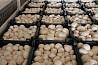 Продаем грибы оптом в Краснодаре, грибы оптом Краснодарский край