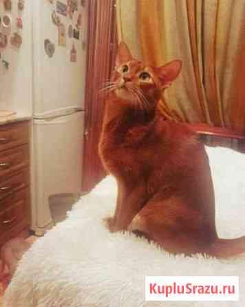 Абиссинский котик на вязку Одинцово