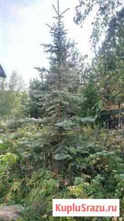 Голубая ель Апрелевка