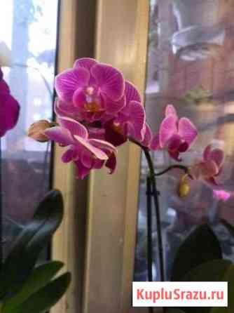 Орхидея фаленопсис Лесной Городок
