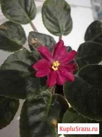 Фиалка Вега ле, цветущая Мытищи