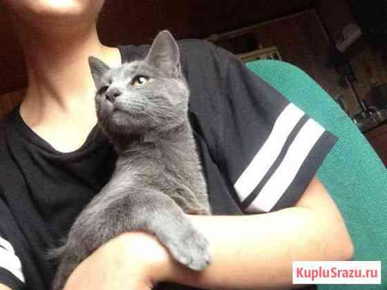 Русский голубой котик Клин