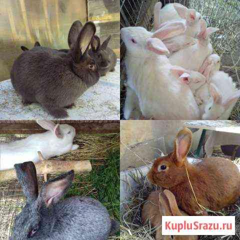 Большой выбор кроликов на любой вкус Подольск