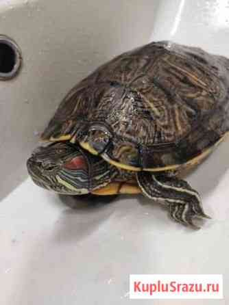 Красноухая черепаха (бесплатно) Троицк