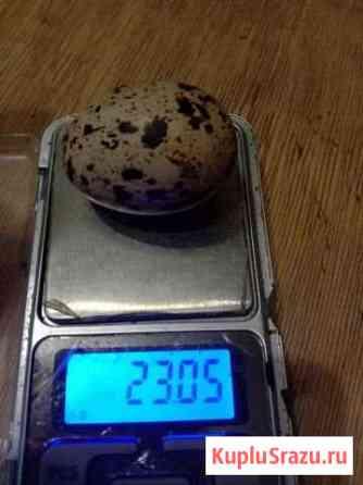 Яйцо перепелиное диетическое Чехов