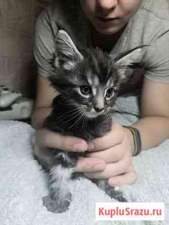 Котята Мейн-кун Балашиха