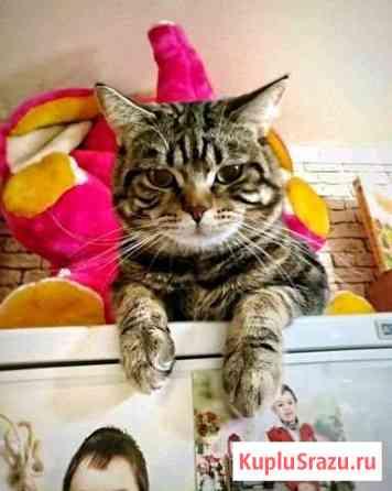 Шотландский молодой котик на вязку Дмитров