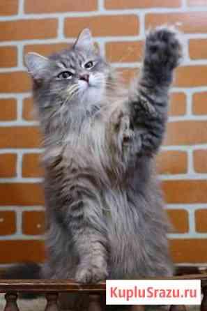 Сибирские Кошки продаются Долгопрудный