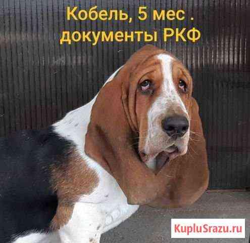 Бассет хаунд, кобель 5 мес.,док-ты РКФ Таганрог