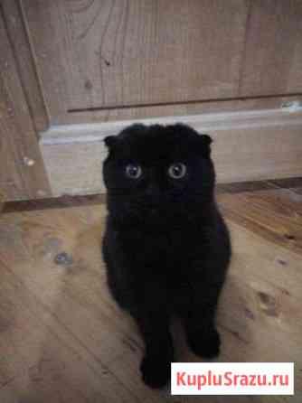 Вислоухий котенок Зерноград