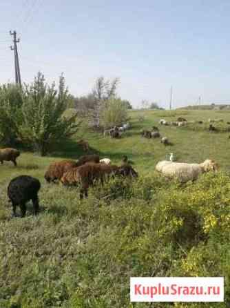 Овцы, ягнята продам Миллерово