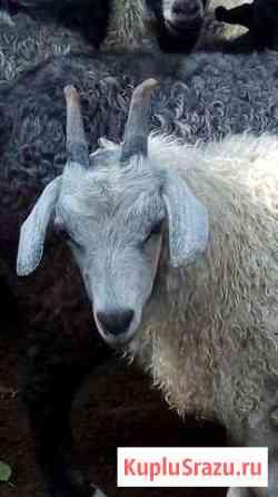 Пуховые козы Семикаракорск