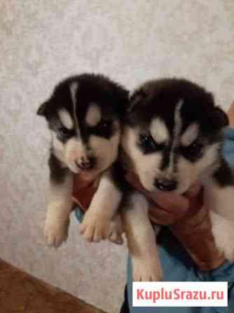 Друг на Новый год,щенки сибирской хаски Набережные Челны