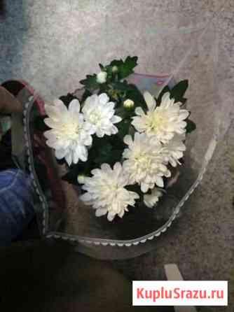 Комнатные растения Хризантемы Нижнекамск
