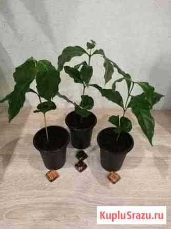 Кофейное дерево Нижнекамск