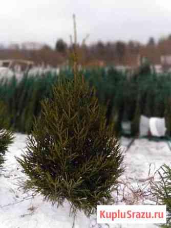 Живые новогодние елки и сосны категории premium Екатеринбург