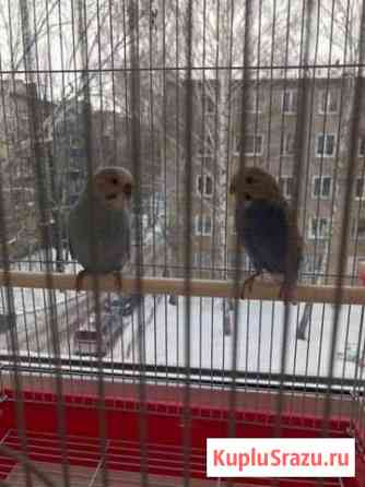 Попугай (2 попугая) Чистополь