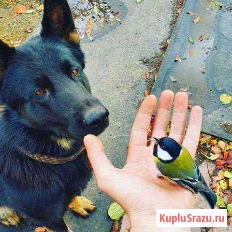 Немецкая овчарка ищет парень подругу Копейск