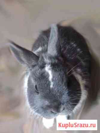 Голландский карликовый кролик Балтаси
