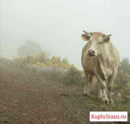 Продам корову Лысково