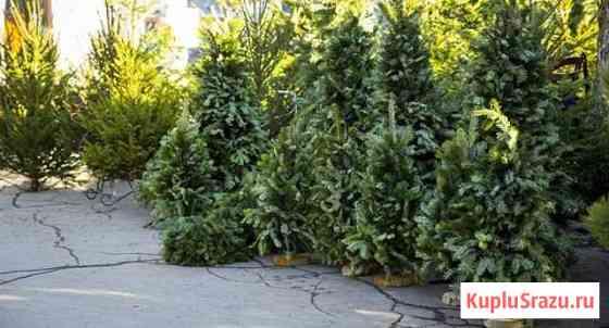 Живые елки в наличии в Дзержинске Дзержинск