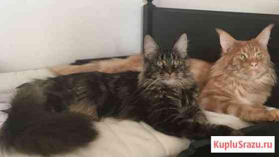 Котятки мейн-кунчики Кудрово