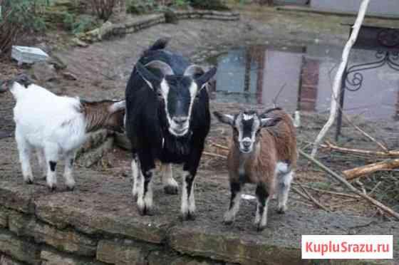 Камерунские козы Кировск