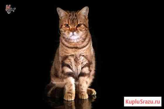 Кот полубританец Всеволожск